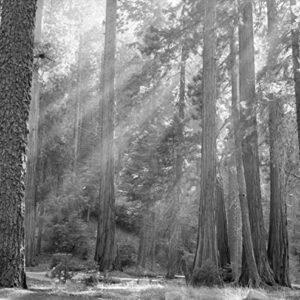 Sequoia National Park Black And White Print